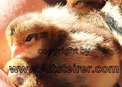 Wärmelampe hühner